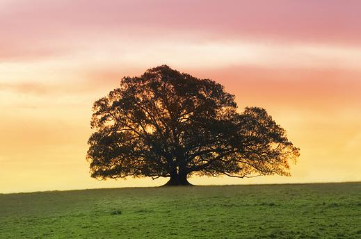 bigstock-Single-Fig-Tree-Alone-In-A-Fie-1965281 Cropped